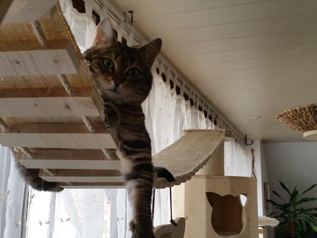 Catwalk mit Kratzbaum Gigant im Hintergrund, lnge Hängebrücke für Katzen