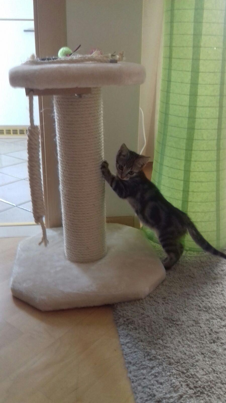 Kratzbaum Kitten Sonderanfertigung Kittenkratzbaum Massiver
